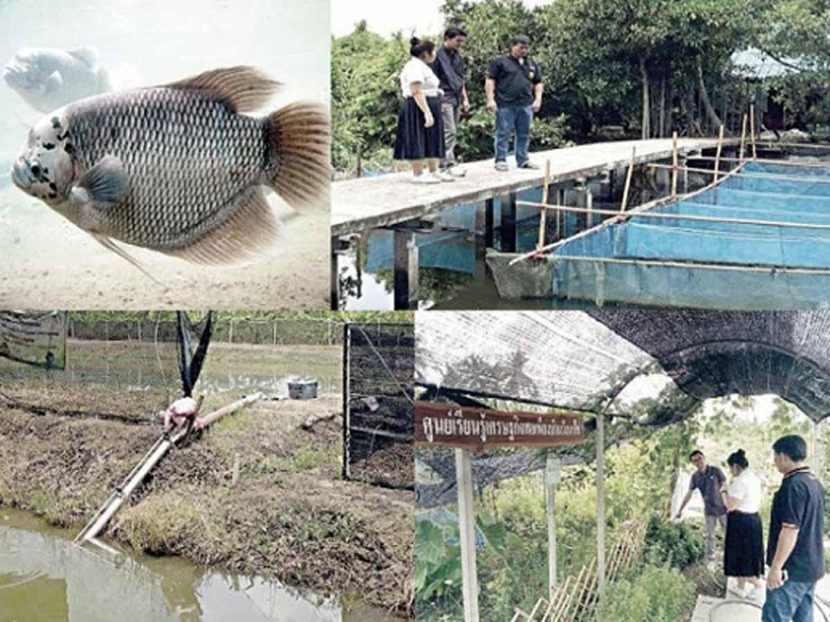 เลี้ยงปลาแรดในบ่อดิน