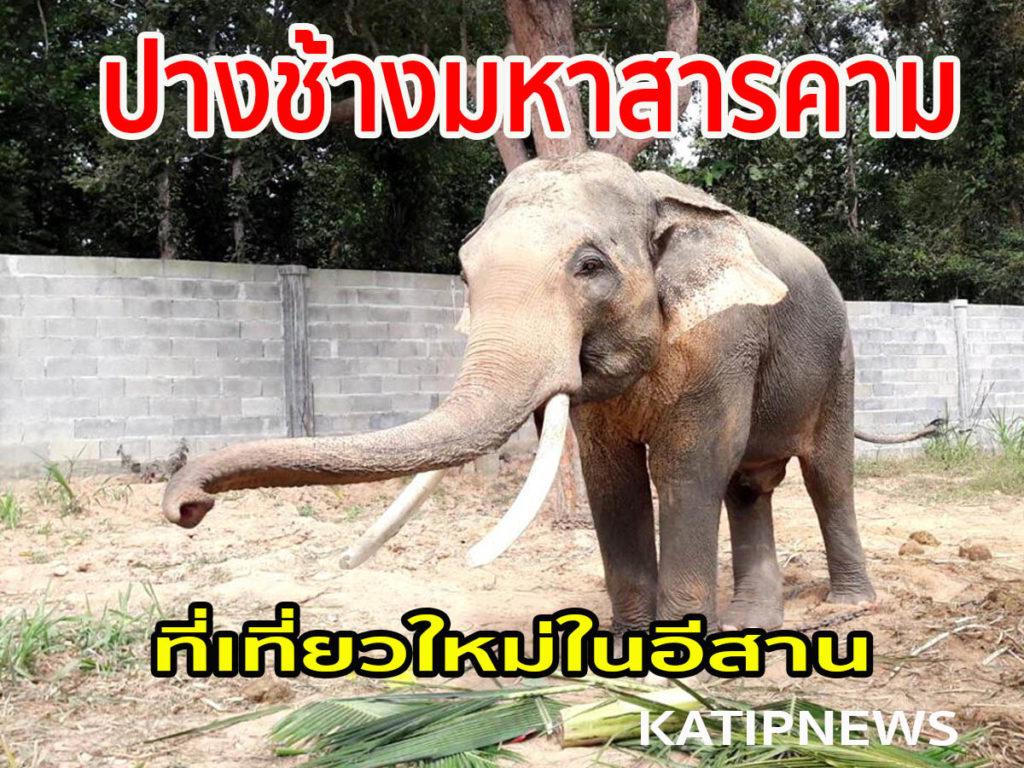 เที่ยวชมช้าง ชิมกาแฟขี้ช้างที่มหาสารคาม ที่ไม่ธรรมดาเพราะเป็นช้างที่เคยดุร้ายฯ
