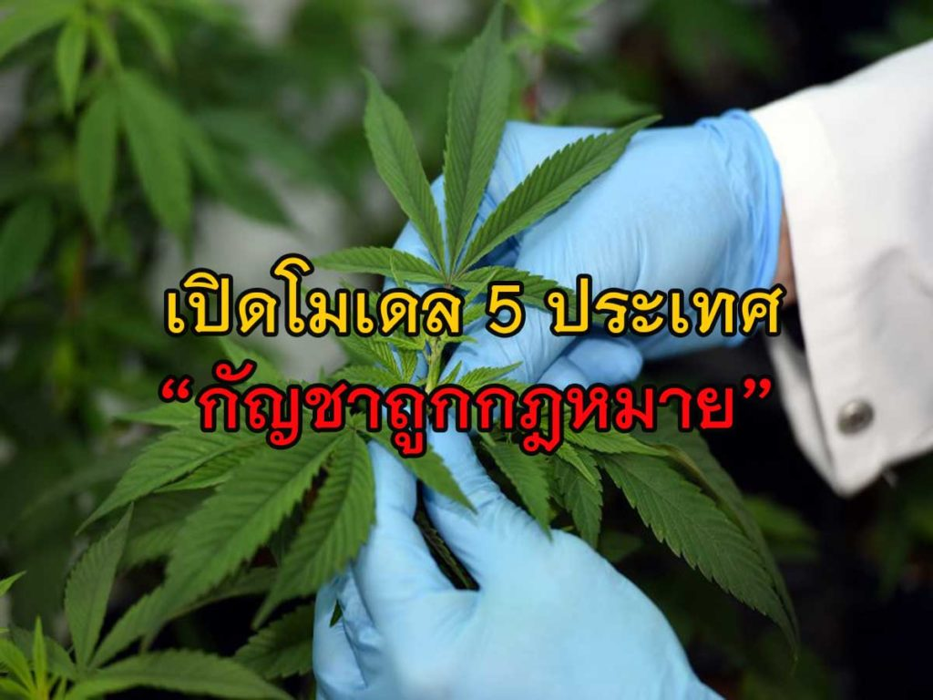 """กัญชาไทย เป็นไปได้เเค่ไหน? เปิดโมเดล 5ประเทศ """"กัญชาถูกกฎหมาย"""""""