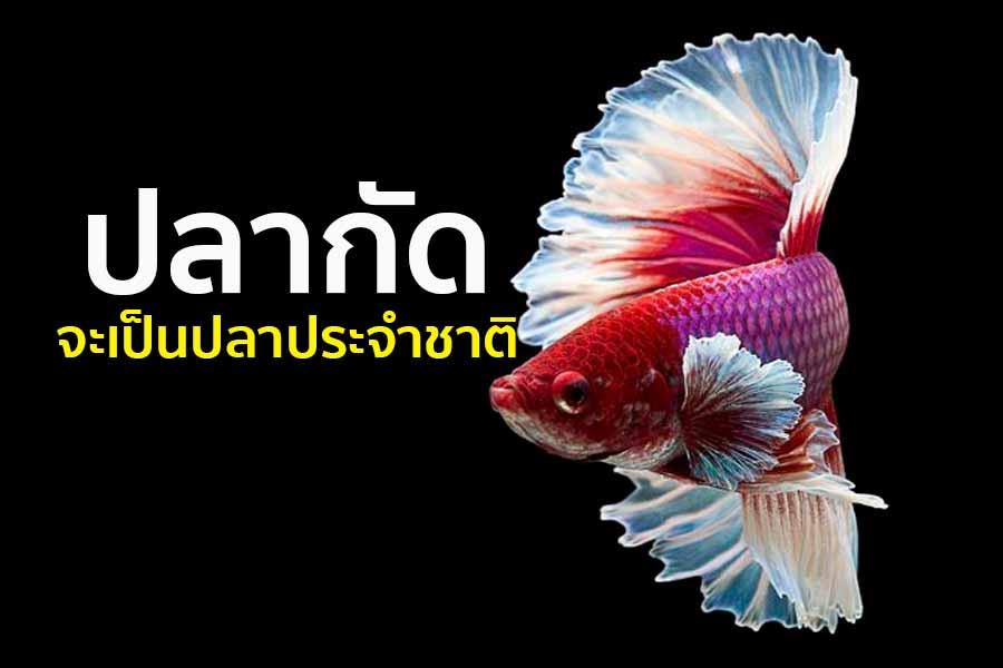เร่งผลักดัน!! 'ปลากัด' เป็นสัตว์น้ำประจำชาติ