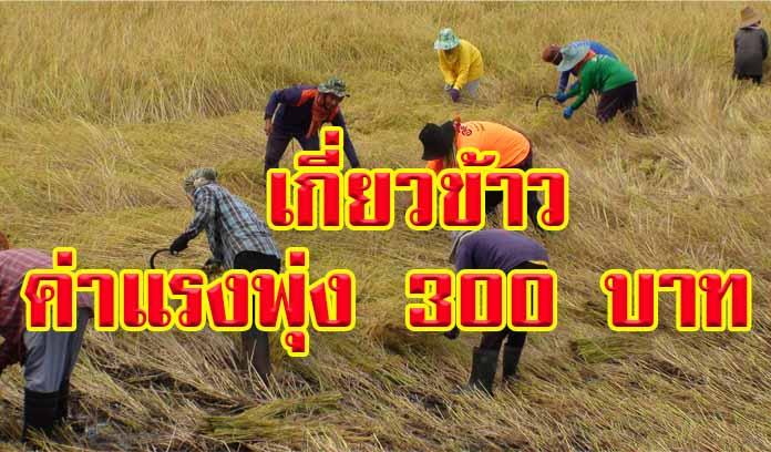 ยากลำบากขึ้นทุกวัน! ชาวนาโอด ค่าแรงเกี่ยวข้าว พุ่ง 300 มี 7 ไร่ ต้องจ่ายวันละ 6 พัน